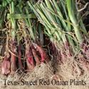 Picture of Texas Sweet Onion Plants, Red