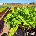 Picture of Lettuce, Grand Rapids Leaf
