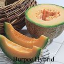 Picture of Cantaloupe, Burpee Hybrid