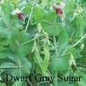 Picture of Snow Pea, Dwarf Gray Sugar Pod