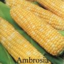 Picture of Yellow & White Sweet Corn, Ambrosia