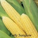 Picture of Yellow Sweet Corn, Early Sunglow