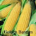 Picture of Yellow Sweet Corn, Golden Bantam