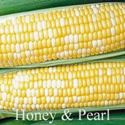 Picture of Yellow & White Sweet Corn, Honey n' Pearl