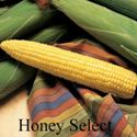 Picture of Yellow Sweet Corn, Honey Select