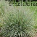 Picture of Native Grass, Little Bluestem