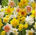 Picture for category Daffodils