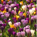 Picture for category Crocuses