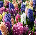 Picture for category Hyacinths