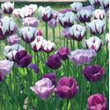 Picture for category Tulips