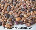 Picture of Lima Bean, Jackson Wonder Bush