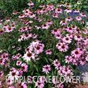 Picture of Purple Coneflower