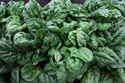 Picture of Spinach, Avon Hybrid
