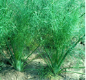 Picture of Fennel, Florence
