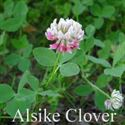 Picture of Alsike Clover