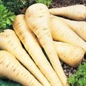 Picture for category Parsnips