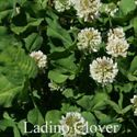 Picture of Ladino Clover