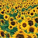 Picture for category Sunflowers