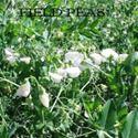 Picture of Field Peas, Stockade