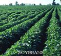 Picture of Soybeans