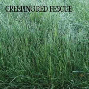 Picture of Fescue, Creeping Red