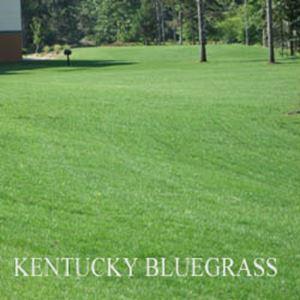 Picture of Kentucky Bluegrass