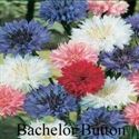Picture of Bachelor Button, Polka Dot