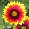 Picture of Blanket Flower (Gaillardia)