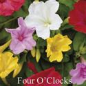 Picture of Four O'Clocks, Marvel of Peru