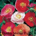 Picture of Poppy, Double Shirley