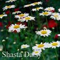 Picture of Shasta Daisy, Alaska