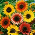 Picture of Sunflower, Autumn Beauty