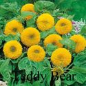 Picture of Sunflower, Teddy Bear