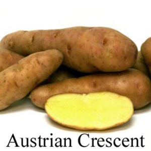Picture of Potato, Austrian Crescent