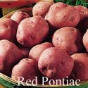 Picture of Potato, Red Pontiac