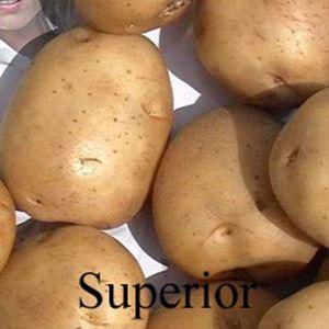 Picture of Potato, Superior