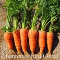Picture of Carrot, Chantenay Red Cored