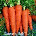 Picture of Carrot, Danvers Half Long