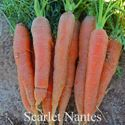 Picture of Carrot, Scarlet Nantes