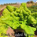 Picture of Lettuce, Black Seeded Simpson Leaf