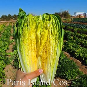 Picture of Lettuce, Paris Island Cos Romaine