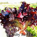 Picture of Lettuce, Ruby Red Leaf