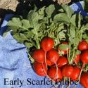 Picture of Radish, Early Scarlet Globe