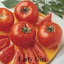 Picture of Tomato, Early Girl Hybrid