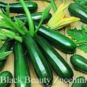 Picture of Squash, Black Beauty Zucchini