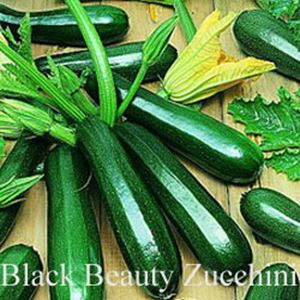 Picture of Squash, Black Beauty Zucchini