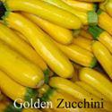 Picture of Squash, Golden Zucchini
