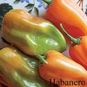 Picture of Pepper, Habanero Hot