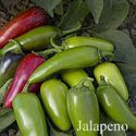Picture of Pepper, Jalapeno Hot