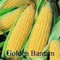 Picture of Yellow Sweet Corn, Golden Bantam